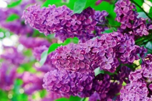 ramo de flores bonito lilas magníficas idea perfecta fiesta