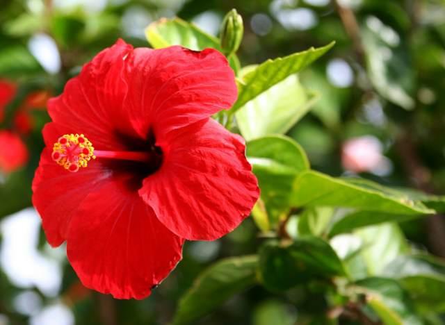 flor Jamaica recetas saludables ideas originales fiesta