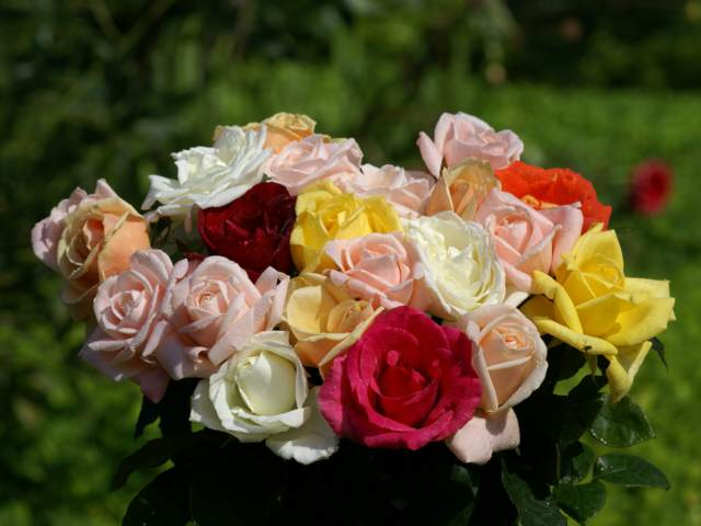 flores hermosas rosas magníficas colores diferentes noviazgo ideas